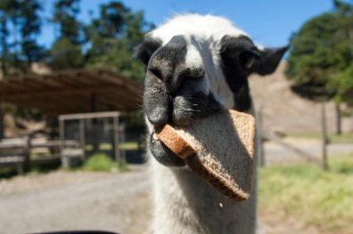 I just love this picture of the llama. Llama don't give an eff.